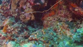 Омар в тропическом море Бали, Индонезия сток-видео