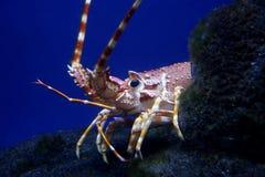 омар crayfish стоковые фотографии rf
