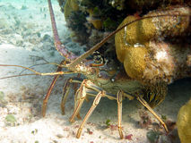 омар spiny стоковое изображение