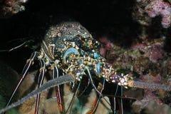 омар spiny стоковые изображения rf