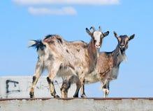 2 домашнего животного коз Стоковое фото RF