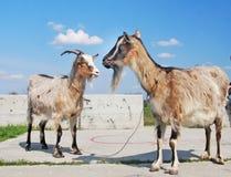 2 домашнего животного коз Стоковые Фотографии RF