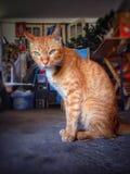 домашнее животное кота стоковое изображение rf