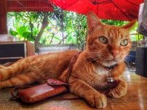домашнее животное кота стоковые изображения rf