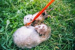 2 домашних енота на поводке играют в зеленой траве Стоковое Фото
