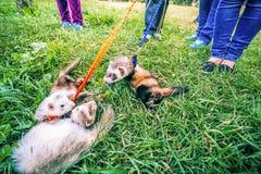 2 домашних енота на поводке играют в траве около предпринимателей Стоковая Фотография RF