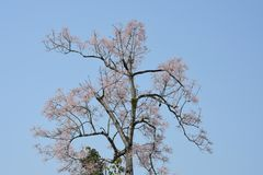 Омедняйте, рассматривает как один из вида ` каприфолия `, особенно редкий Стоковое Фото