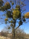Омела на дереве стоковые изображения