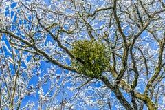 Омела в дереве Стоковые Изображения