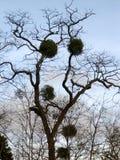 Омела растя на дереве Стоковое Фото
