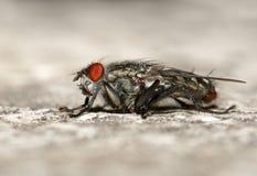 дом мухы Стоковые Фото