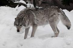 Она-волк смотрит сердито, мех disheveled волки в снеге в зиме стоковое изображение rf