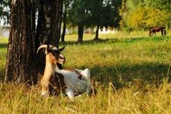 Она-коза на выгоне Стоковые Фотографии RF