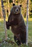 Она-медведь стоя на его задних ногах Стоковое Изображение