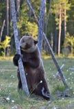 Она-медведь стоя на его задних ногах Стоковые Фото