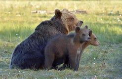 Она-медведь бурого медведя (arctos Ursus) с новичками на болоте в лесе лета Стоковое Изображение