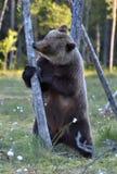 Она-медведь стоя на его задних ногах на болоте Стоковые Изображения RF