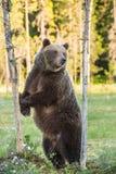 Она-медведь стоя на его задних ногах на болоте Стоковые Фото