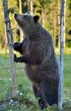Она-медведь стоя на его задних ногах Стоковые Фотографии RF