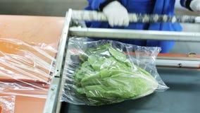 Она оборачивает салата китайской капусты Пакеты внутри льнут фильм видеоматериал