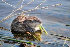 Ондатра сидя на береге и есть тростники весной стоковые изображения rf