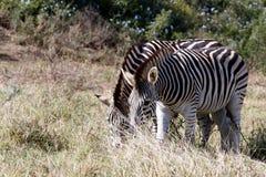 Они наклоняют видят нас - зебра Burchell Стоковое фото RF
