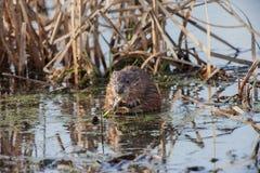 Ондатра в болоте Стоковое Фото