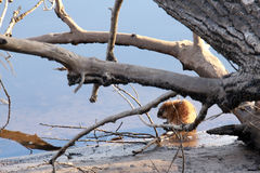 Ондатра на речном береге Стоковое Изображение