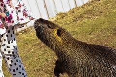 Ондатра с девушкой Стоковая Фотография