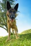 Он я - собака стоковая фотография