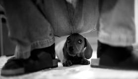 ООН щенка обеспеченная Стоковое Фото