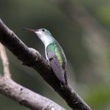 опасливая зеленая белизна hummingbird Стоковое Изображение