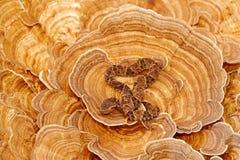Опасная змейка в среду обитания природы Asper Bothrops, Fer-de-Ланс, на грибке дерева Ядовитая змейка в среду обитания природы po Стоковое Изображение RF