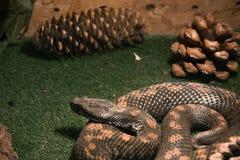 Опасная ядовитая змейка в terrarium - армянская гадюка стоковая фотография