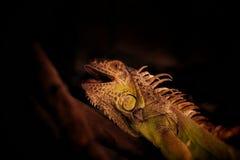 Опасная ящерица ждать муху стоковые изображения