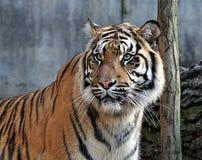 Опасное животное, тигры в сафари Стоковые Фото