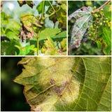 Опасное заболевание lat виноградин mildew viticola plasmopara стоковая фотография