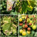 Опасное заболевание lat виноградин mildew viticola plasmopara стоковые фото