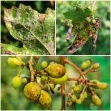 Опасное заболевание lat виноградин mildew viticola plasmopara стоковые изображения