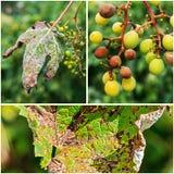Опасное заболевание lat виноградин mildew viticola plasmopara стоковое изображение