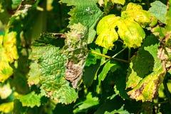 Опасное заболевание Mildew виноградины - lat пухового mildew pla стоковые фотографии rf