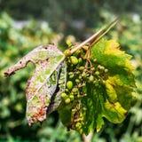Опасное заболевание Mildew виноградины - lat пухового mildew pla стоковые изображения rf
