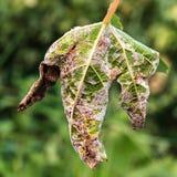 Опасное заболевание Mildew виноградины - lat пухового mildew pla стоковое фото
