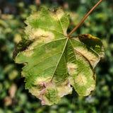 Опасное заболевание Mildew виноградины - lat пухового mildew pla стоковая фотография