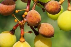 Опасное заболевание Mildew виноградины - lat пухового mildew pla стоковое изображение