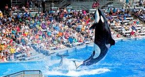 опасный кит убийцы Стоковая Фотография RF
