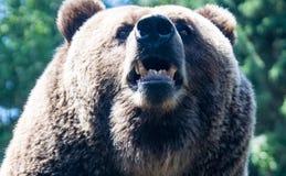 Опасный медведь Стоковое Изображение