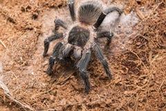 Опасный паук тарантула в специальном terrarium Стоковые Изображения