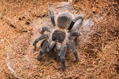 Опасный паук тарантула в специальном terrarium Стоковое фото RF