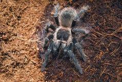 Опасный паук тарантула в специальном terrarium Стоковое Фото